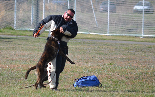 Trained dog subduing an attacker