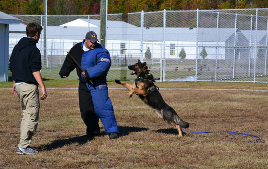 German Shepard subduing an attacker.