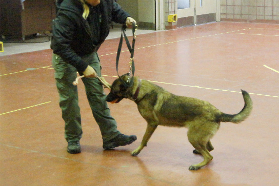 Slippery floor surface training for protection dogs.